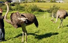 Weide-Vogelstrauss