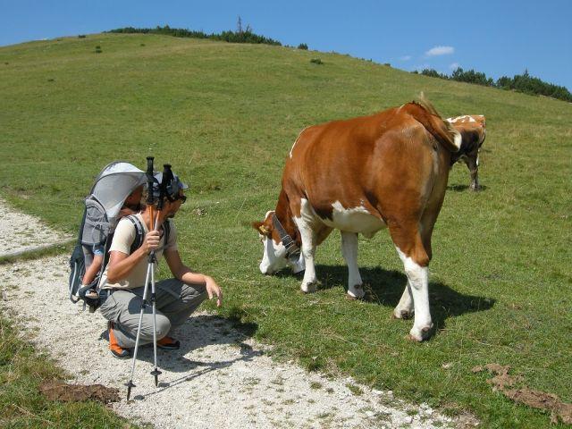 Weidende_Kuh